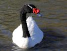 Black-Necked Swan (Slimbridge October 2012)